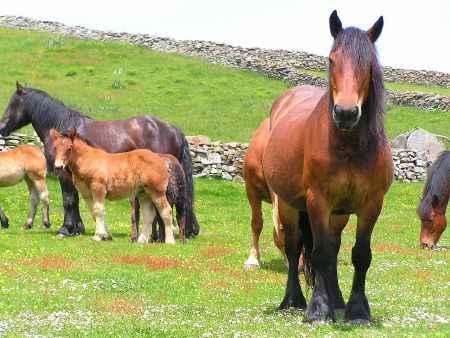 Caballos asturianos