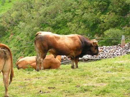 Toro asturiano