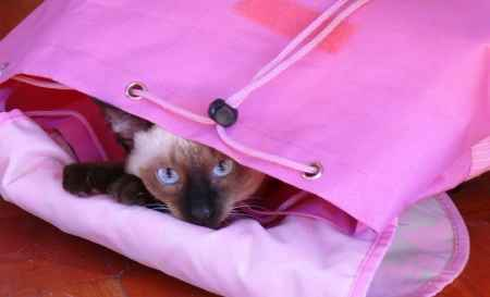 gata siamesa en una bolsa