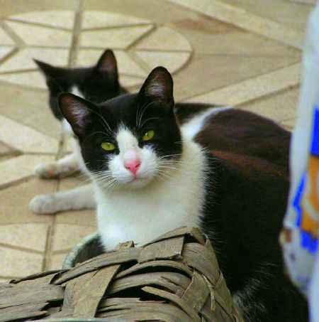 Dos gatos asturianos