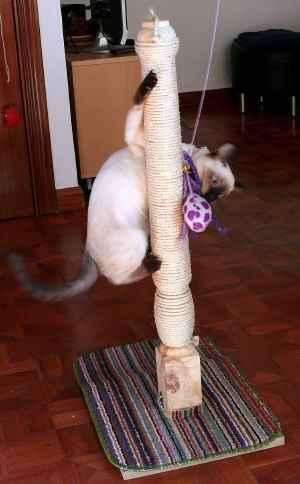 gato siames jugando