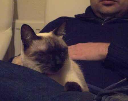 gato siames sobre las piernas de una persona