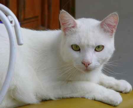 un gato blanco