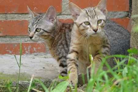 dos cachorros de gatos silvestres