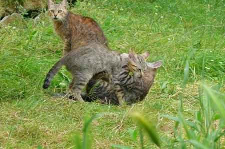 gatos monteses jugando