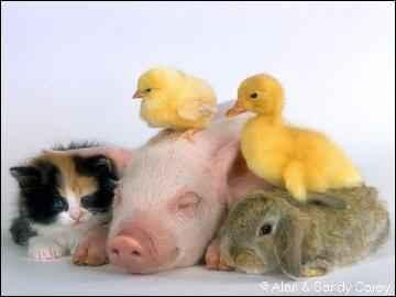 cerdo, gato y paticos