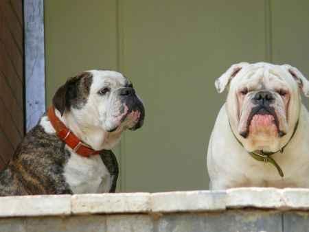 Pareja de perros bulldog haciendo guardia