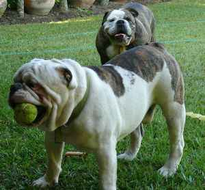 Pareja de bulldogs