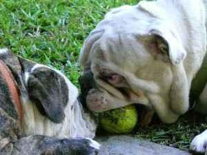 la cabeza de dos bulldog jugando con una pelota