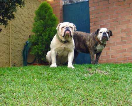 dos perros bulldog