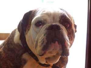 perra bulldog llamada Carlota