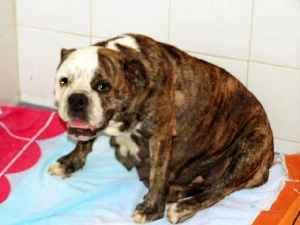 Perra bulldog preñada