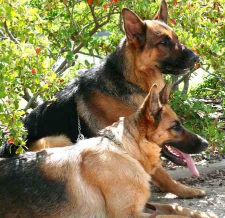 Pareja de perros pastor aleman