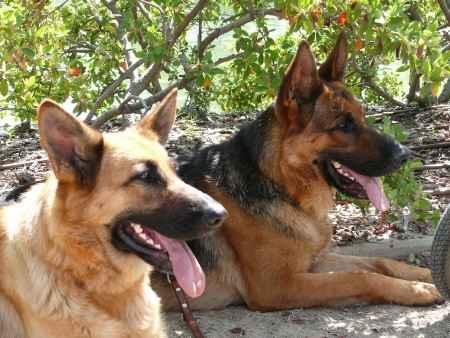 Dos perros pastor aleman