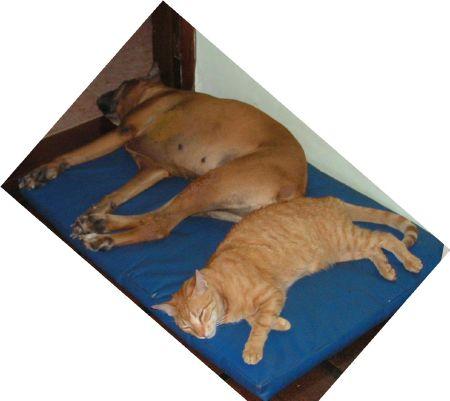 Perra boxer y gato