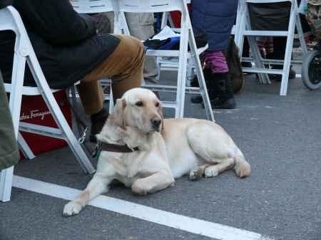 Perro guia raza golden retriever