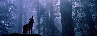 Lobo aullando en el bosqu