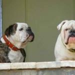El celo en las perras