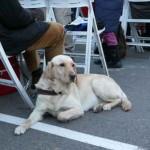 Una perra guía eficiente