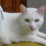 Un gato muy blanco