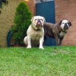 Bulldogs pacientes