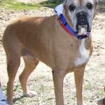 Penélope, perra boxer