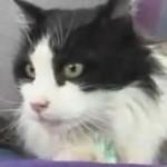 Muere Casper, el gato inglés del autobús