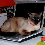 Mi gata no me deja trabajar