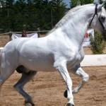 Impresionantes caballos de raza española, sin precio