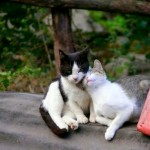 Amores felinos
